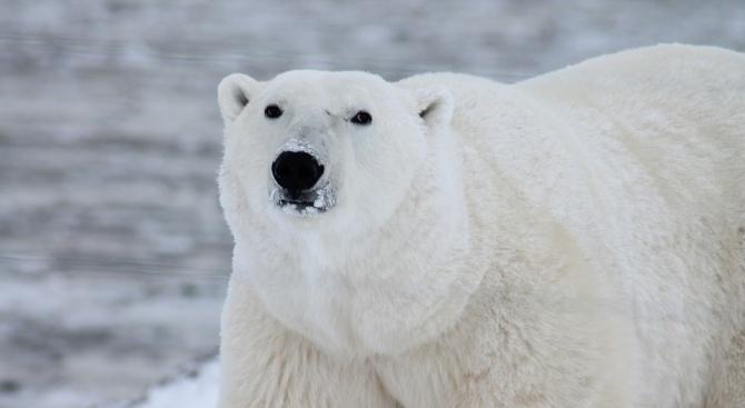 Гладна полярна мечка броди из индустриален руски град