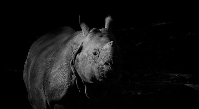 Рядък мъжки черен носорог умря, докато го превозваха от Великобритания към Африка