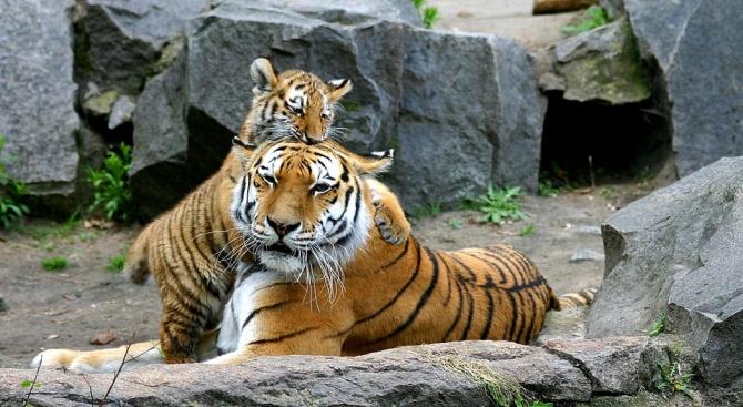Тигрица нападна мъж, опитал се да вземе рожбата ѝ