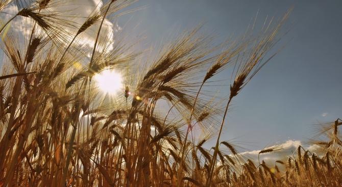 Две момчета са подпалили масивите с узряло жито край монтанското село Якимово