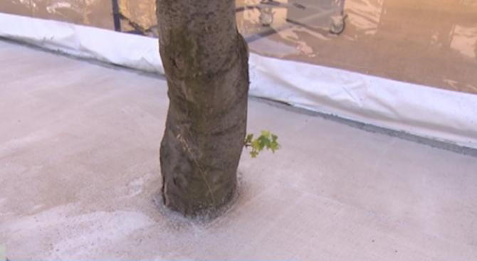 """Бетонираха дървета при строеж в столичния квартал """"Младост"""""""