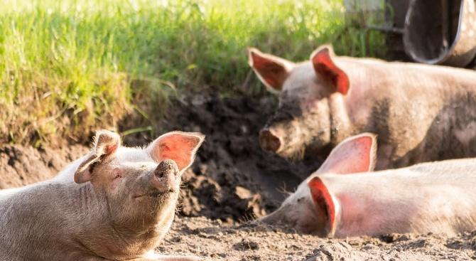 В Русенско преброяват домашните прасета в малките стопанства