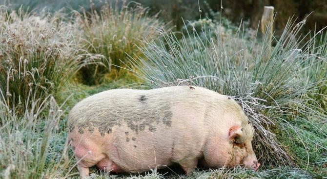 Ново огнище на африканска чума по свинете в плевенското село Новачене