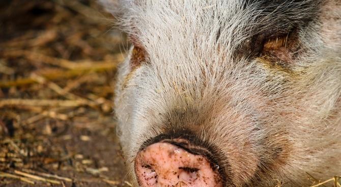 В МЗХГ ще се проведе среща за превенция и контрол на африканската чума по свинете
