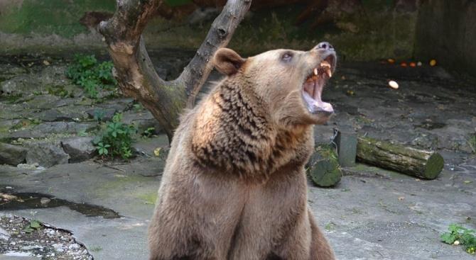 МЗХГ разреши отстрела на три проблемни мечки в Смолянско