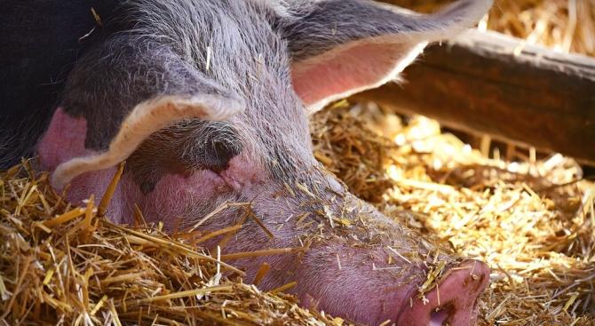 Започва умъртвяването на животните в новите огнища на чума по прасетата