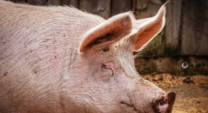 До 10 дни трябва да бъдат заклани всички прасета в област Русе