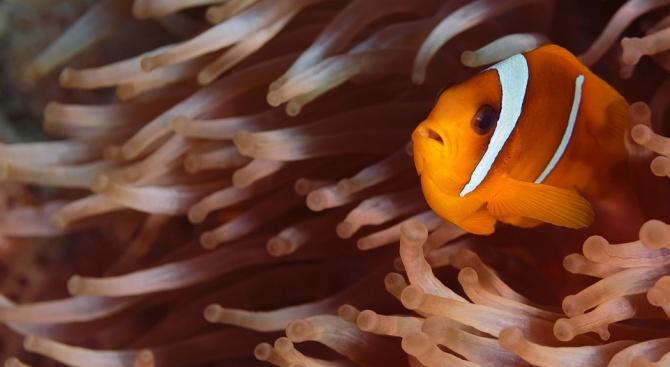 Светлинното замърсяване застрашава рибата клоун