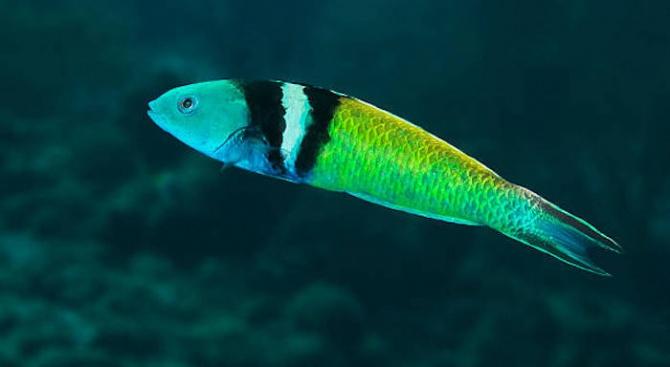 Учени разкриват как някои риби сменят пола си