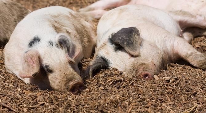 Африканската чума по свинете стигна и до област Търговище