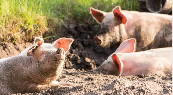 Установено е ново огнище на Африканска чума по свинете в русенското село Николово