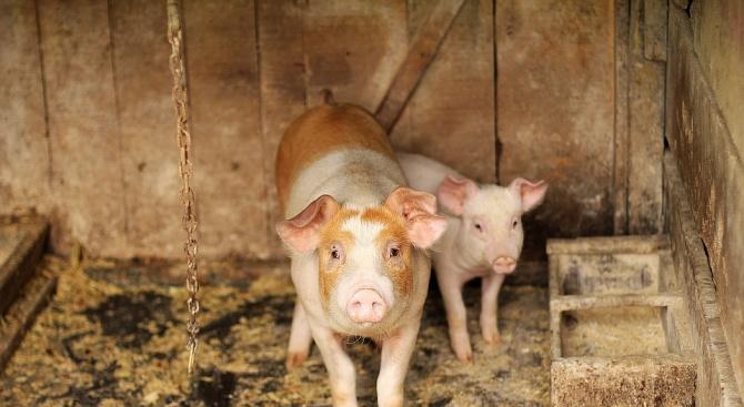 Кметът на Свищов ограничи достъпа до свинекомплекса в с. Българско Сливово
