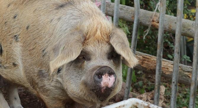 Излизат резултатите от пробите за чума по прасетата в Пловдив и Свищов