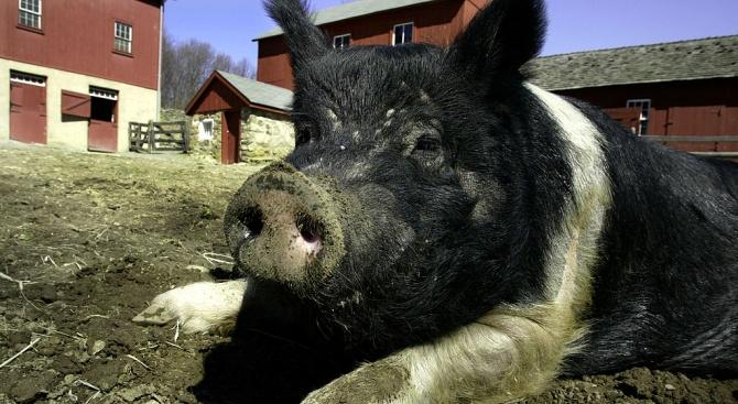 Бедствено положение и в Силистренско заради африканската чума по свинете