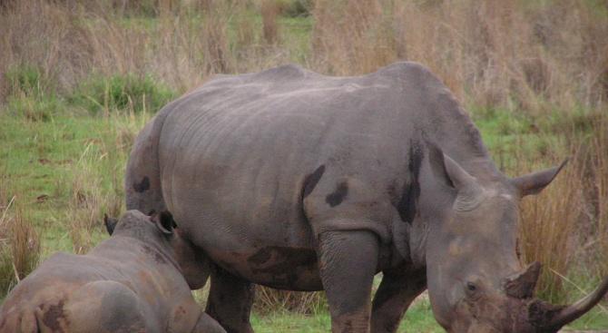 В Сан Диего се роди бял носорог, заченат изкуствено