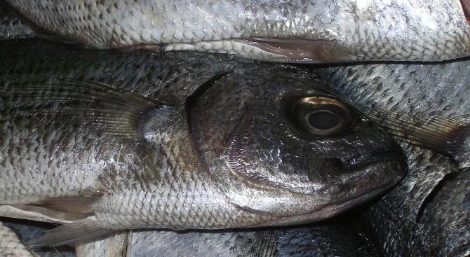 Тонове мъртва риба изплуваха в река Искър
