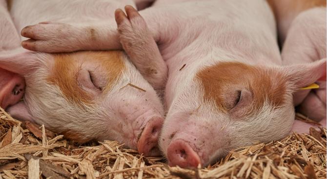 В община Свищов е обявено бедствено положение заради Африканската чума по свинете