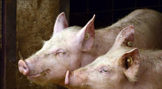 Започна умъртвяването на прасетата в Свищовско заради чумата