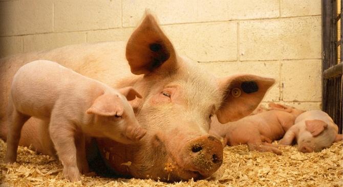 Удължиха бедственото положение в Силистренско заради чумата по свинете