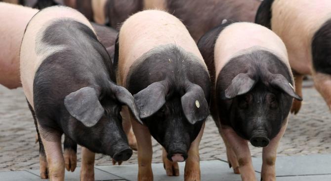 Заклаха сръбски прасета заради АЧС
