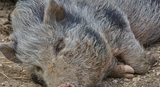 В Асеновградско поставят капани за лов на глигани заради АЧС