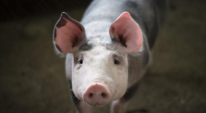 Няма нови огнища на африканска чума по свинете в Плевен