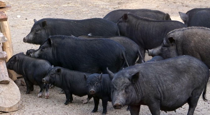 Започва принудителното евтаназиране на домашни прасета в Южна България