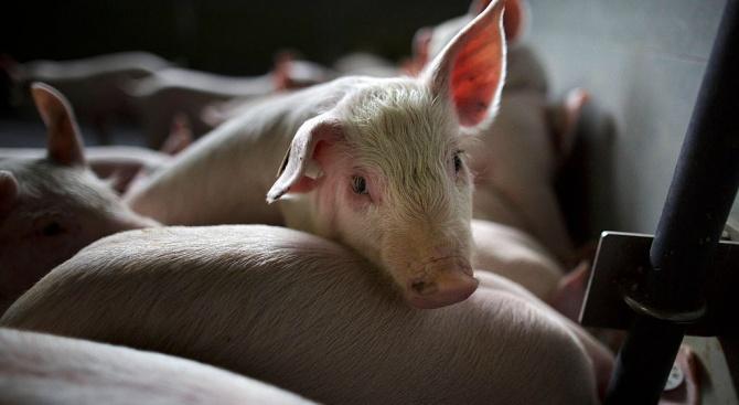 Стопанин от Пазарджишко: Едва ли има АЧС при нас, цели се вдигане цената на вносното месо