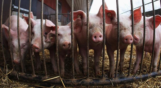 Кметове от Пазарджишко с обща декларация в подкрепа на мерките за борба с чумата по свинете