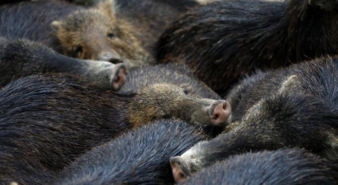 Ограничават се ловът, дърводобивът и достъпът в зона около огнището на чума край с.Змеица