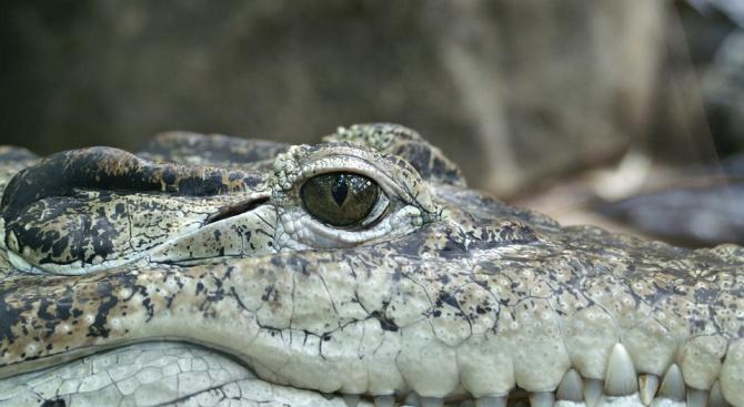 Във Филипините крокодил изяде десетгодишно момче