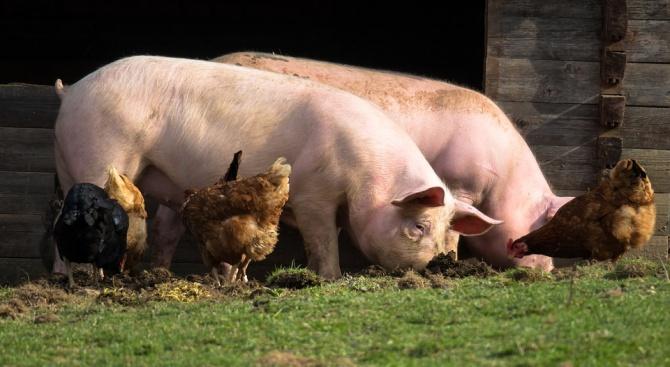 В област Плевен са умъртвени домашните прасета в 807 лични стопанства
