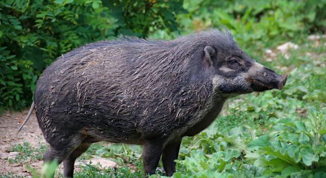 За първите 13 дни на август на територията на СЦДП са отстреляни 125 диви свине
