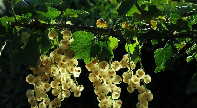 Слаба реколта от грозде в Русе и Свищов