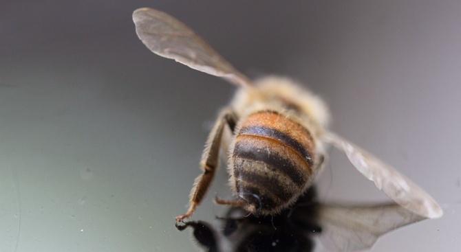 Над 200 пчелни семейства са унищожени от пръскането с препарати във варненско