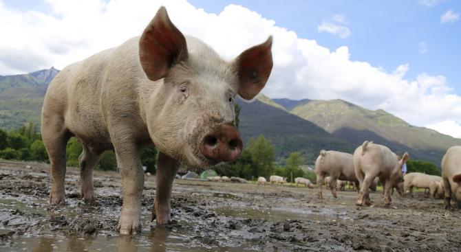 Ново огнище на африканска чума в свинеферма в Русенска област