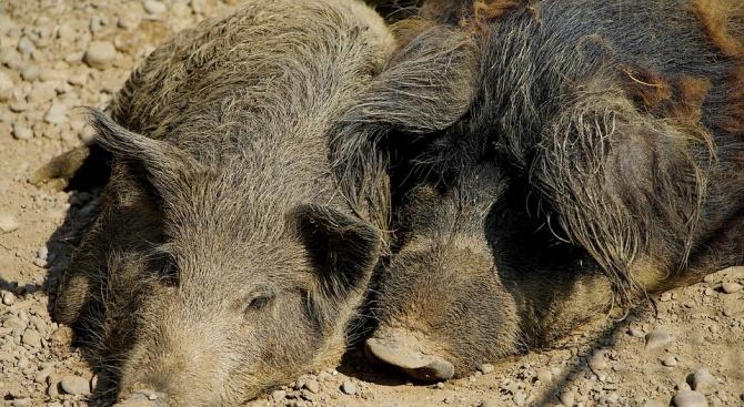 Нов случай на заразено с африканска чума диво прасе в района на село Мерданя