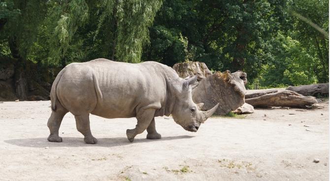 Учени взеха яйцеклетки от застрашения от изчезване северен бял носорог