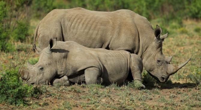 Учени оплодиха 7 яйцеклетки от северен бял носорог