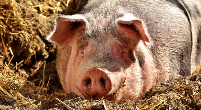 Удължиха срока за доброволно умъртвяване на прасетата в област Благоевград