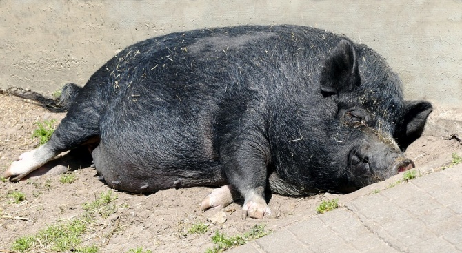 Във Великотърновска област над 2000 стопани, доброволно унищожили прасетата си, ще получат помощ