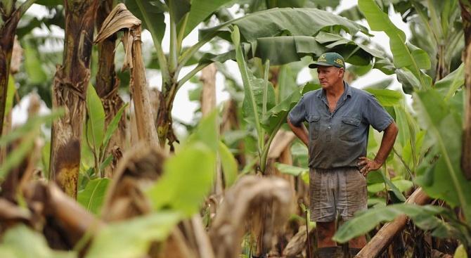 Банановата индустрия нащрек след болест в Колумбия