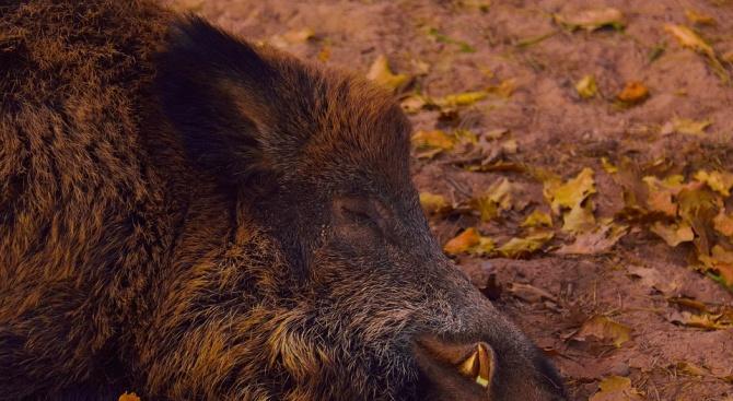 Нов случай на африканска чума при дива свиня в землището на с. Ралево