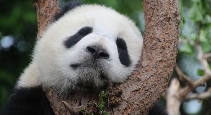 Пандата Мън Мън в зоопарка в Берлин роди близначета