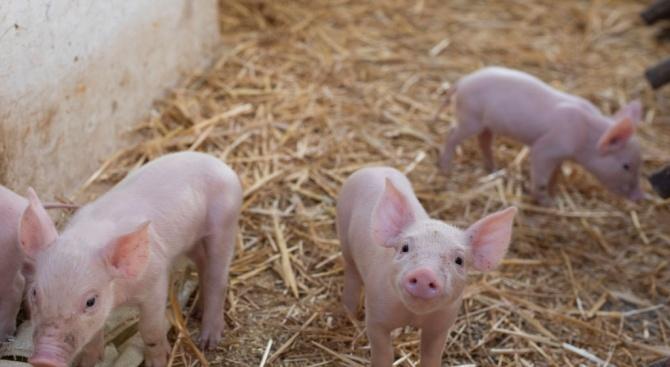Чума по източнобалкански свине