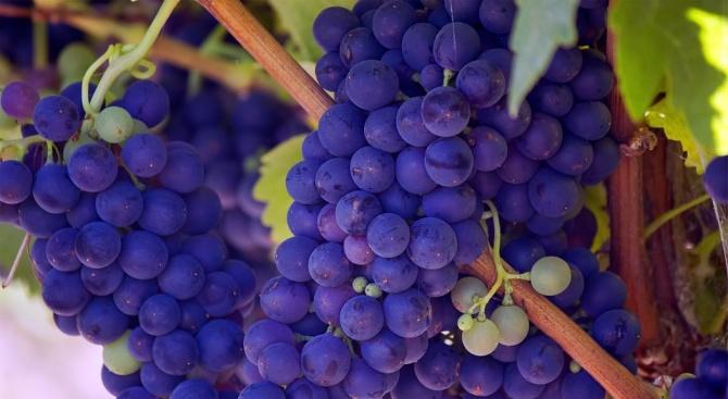 Удължават срока за кандидатстване за авансови плащания по лозаро-винарската програма