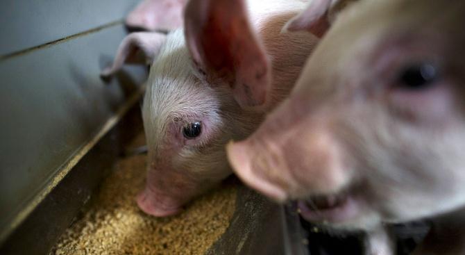 Над 300 души получиха пари за доброволно закланите им прасета в Пазарджишко