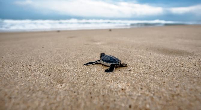 Десетки морски костенурки от рядък вид се излюпиха в Еквадор