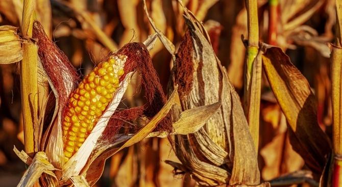 1200 дка царевица били спасени от опожаряване