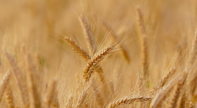 Новата реколта на пшеница е с добро качество